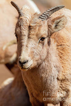 Portrait of a Baby Bighorn by Steve Krull