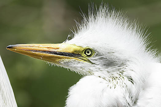 Portrait of a Baby Egret by Darrell Gregg