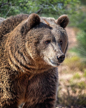 Portrait of a female grizzly bear by Gloria Anderson