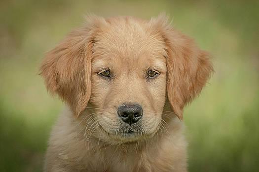 Portrait of a Golden Retriever Puppy by Constance Puttkemery