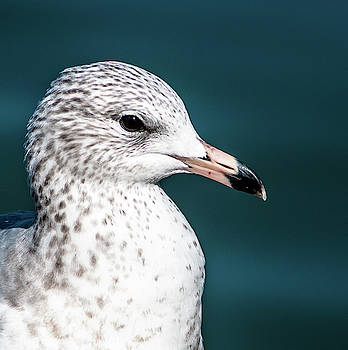Portrait Of A Gull by Norman Johnson