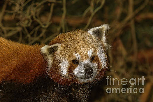 Portrait of a Red Panda by Marv Vandehey