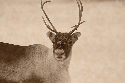 Portrait of a reindeer looking in the camera - vintage sepia by Intensivelight
