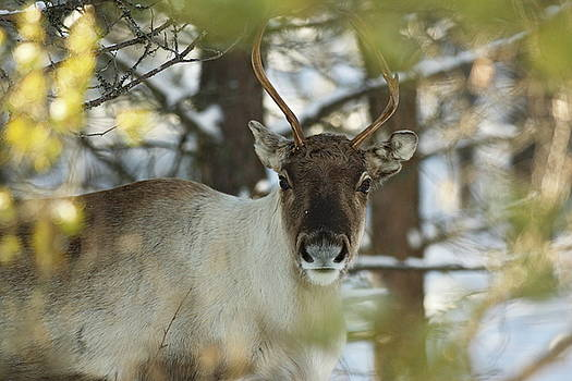 Portrait of a reindeer looking into the camera by Intensivelight