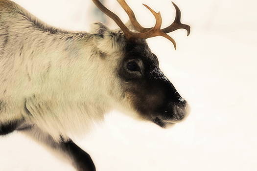 Portrait of a reindeer moving through snow - soft by Intensivelight