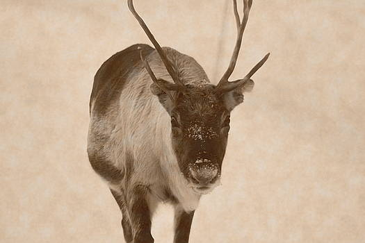 Portrait of a reindeer moving towards the camera - sepia by Intensivelight