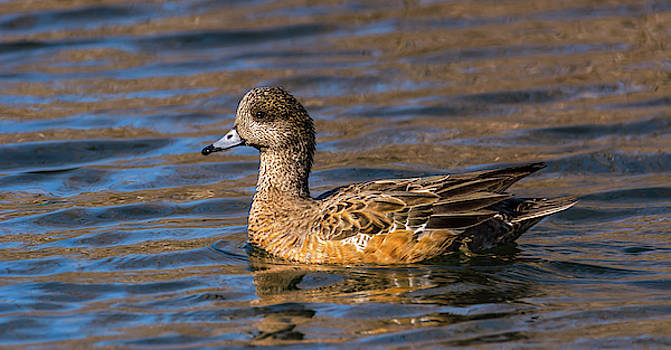 Portrait of Lady Wigeon by Marv Vandehey