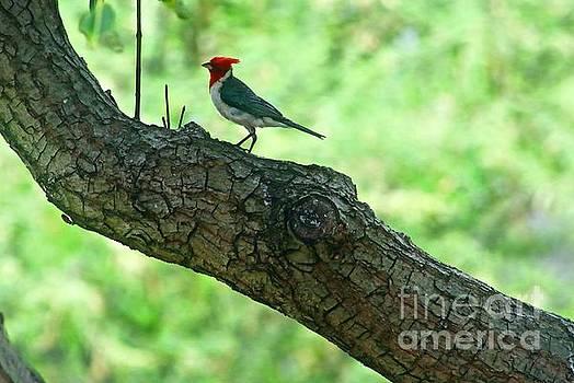 Posing Brazilian Cardinal by Craig Wood