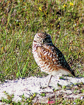 Posing Burrowing Owl by Norman Johnson