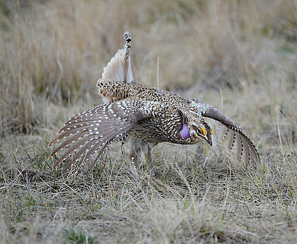 Prairie Dancer- Sharptail Grouse by Whispering Peaks Photography