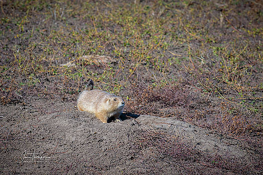 Prairie Dog 1 by Jim Thompson