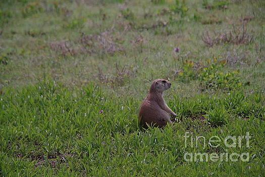 Prairie dog on watch by Jeff Swan