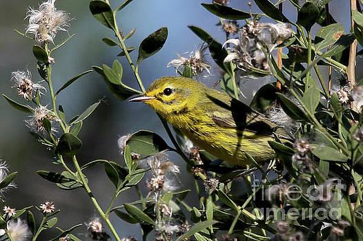 Prairie Warbler by Meg Rousher