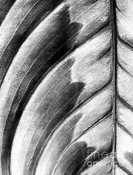 Prayer Plant Black White by Glennis Siverson