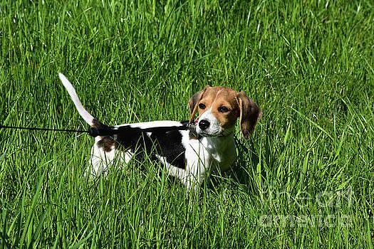 Precious Beagle Puppy Dog in a Large Green Grass Field by DejaVu Designs