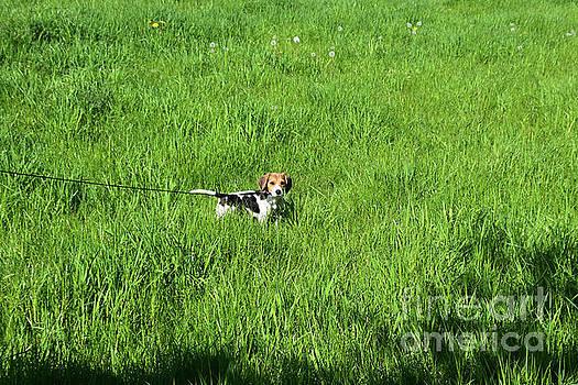 Precious Beagle Puppy on a Leash in a Grass Field by DejaVu Designs