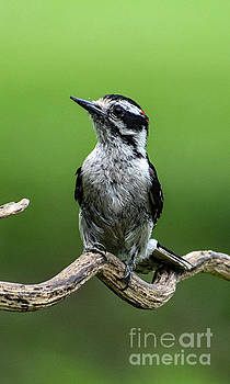 Precious Downy Woodpecker by Cindy Treger