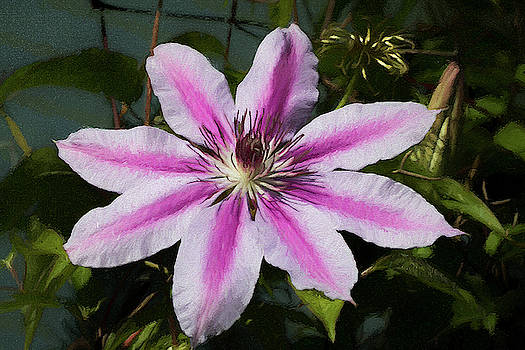 Pretty in Pink Carnaby Clematis Bloom by Kathy Clark