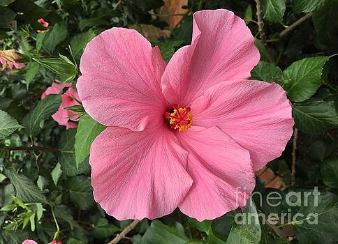 Pretty In Pink Hibiscus by Jeannie Rhode