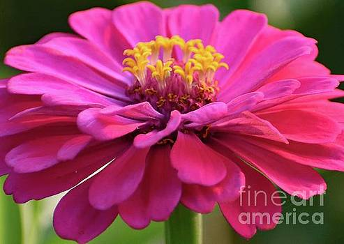 Cindy Treger - Pretty In Pink Zinnia - Double