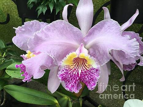 Pretty  Lavender Orchids by Jeannie Rhode