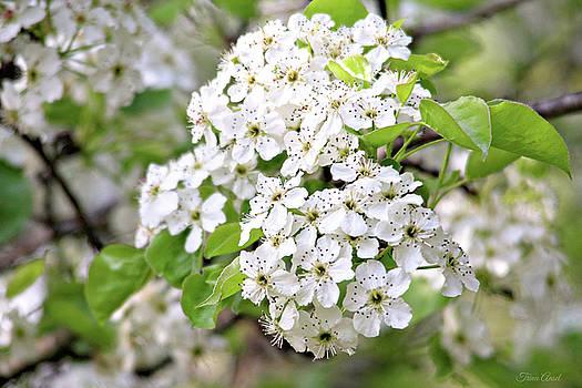 Pretty Pear Blossoms by Trina Ansel