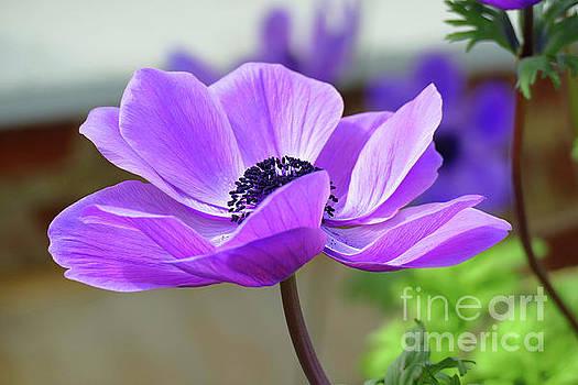 Pretty Purple Poppy facing left by Cindy Manero