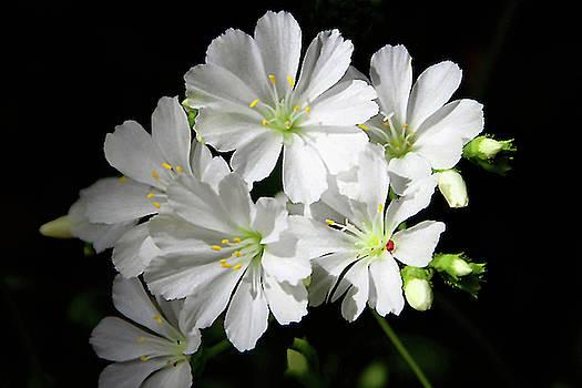 Pretty Whites by Debra Orlean