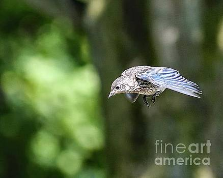 Price Charming Gliding In - Juvenile Eastern Bluebird by Cindy Treger