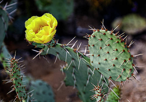 Prickly Pear Flower h1902 by Mark Myhaver