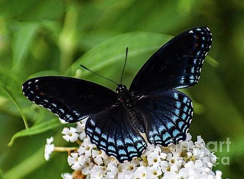 Cindy Treger - Pristine Red-spotted Purple