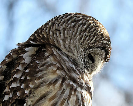 Profile Of A Barred Owl by Doris Potter