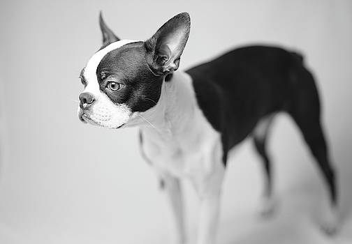 Profile of a Boston Terrier by Giovanni Arroyo