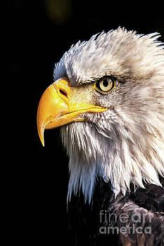 Profile of Bald Eagle by Nikki Vig