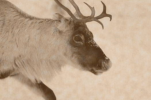 Profile portrait of a reindeer moving through snow - vintage sepia by Intensivelight