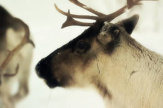 Profile portrait of a reindeer in the snow - soft by Intensivelight