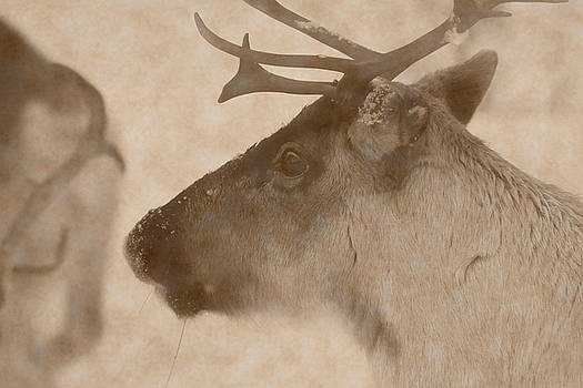 Profile portrait of a reindeer in the snow - vintage sepia by Intensivelight