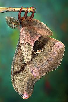 Prometheus Moth by Jerry Fornarotto