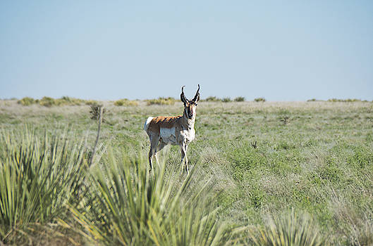 Pronghorn Antelope by Andrea Anderegg