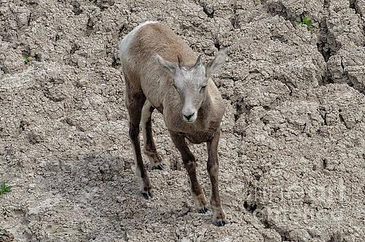 Pronghorn Sheep by Carol Bilodeau