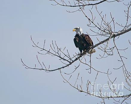 Proud Eagle by Jon Burch Photography