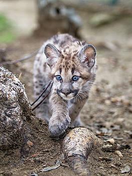 Prowling Puma Cub by Fred Hood