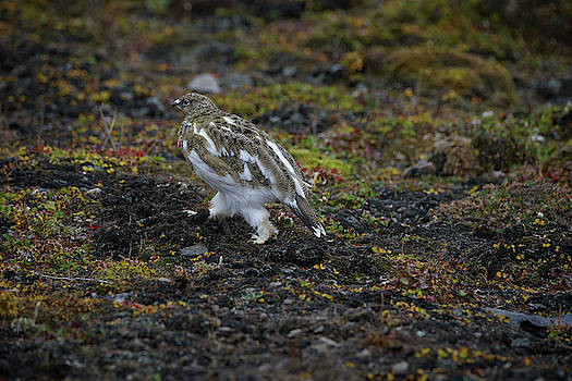 Ptarmigan by Kai Mueller