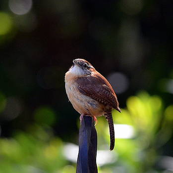 Pudgy House Wren by Carla Parris
