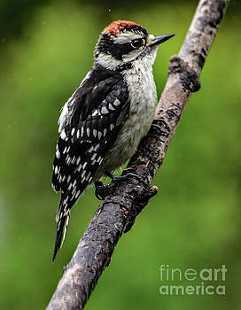 Puffed Up Downy Woodpecker by Cindy Treger