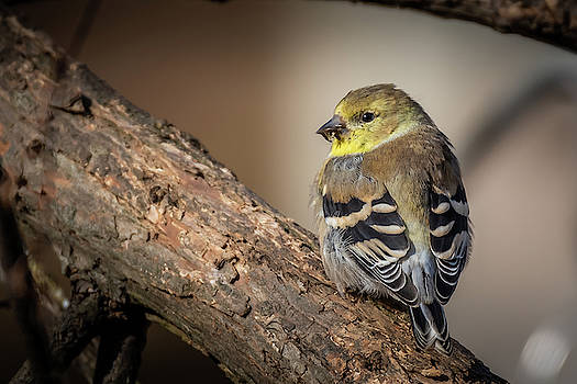 Puffed up Finch by Gary E Snyder