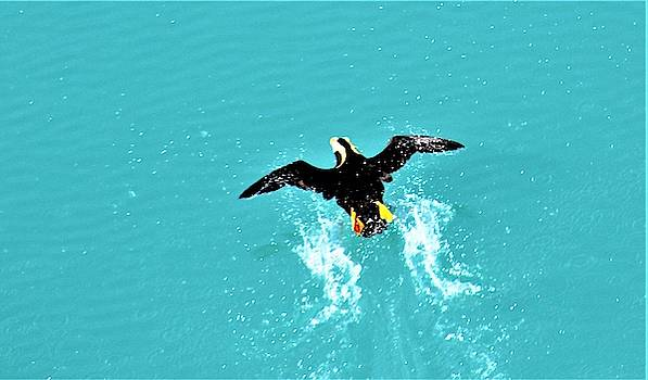 Puffin Takeoff by FD Graham