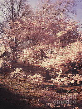 Puffy Pink Cherry Tree - Central Park in Spring by Miriam Danar