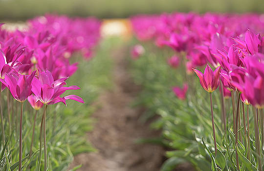 Puple Tulip field by Rebecca Cozart