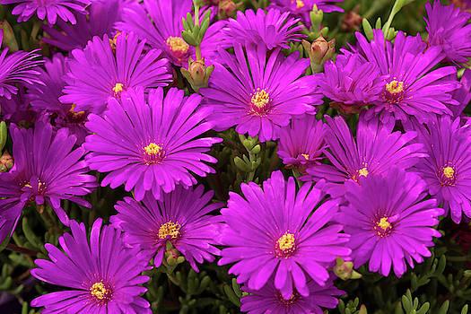 Purple Asters Flowers by Iris Richardson